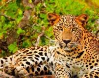 Leopard-in-Sri-Lanka1__1427119000_82.44.205.155