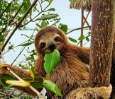 Baby sloth eating mangrove leaf - Lumle holidays