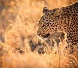 Leopard Walking at Sunset - Lumle holidays