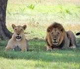 Lions in Tabzania - Lumle holidays