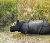 Rhinoceros in Chitwan National  Park, Nepal - Lumle holidays
