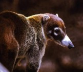 White-nosed_Coati_Nasua_narica