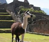 Llama - Lumle holidays